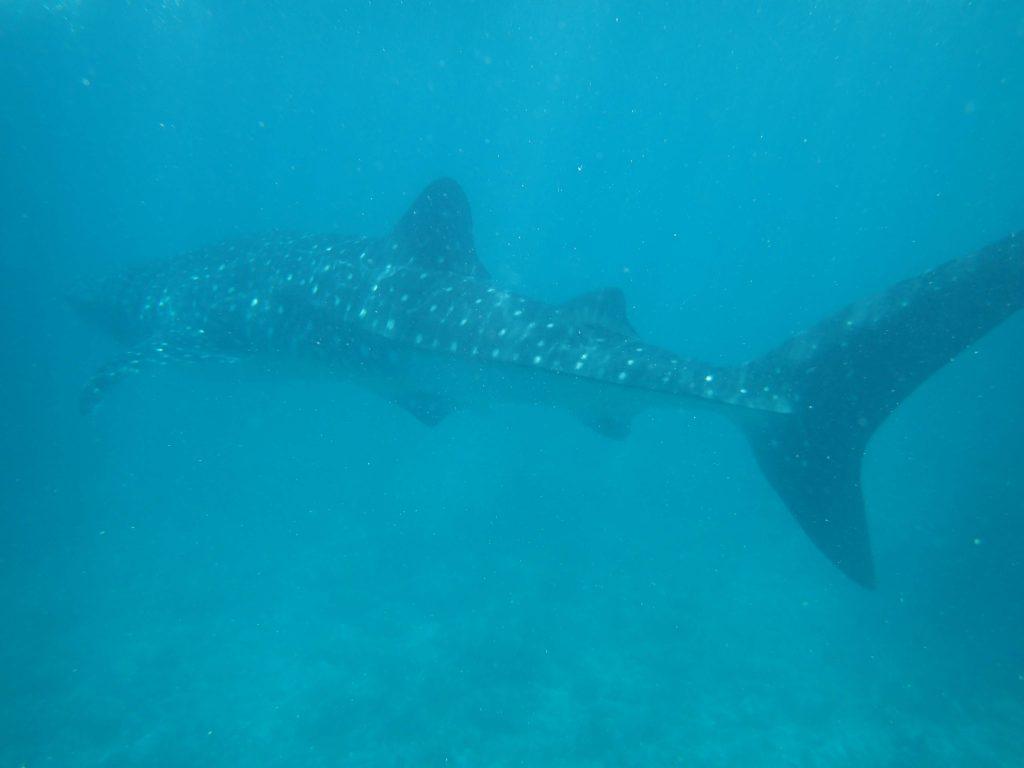 泳ぐジンベイザメ