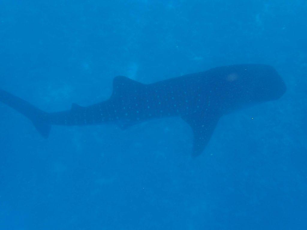 ジンベイザメを上から見ました