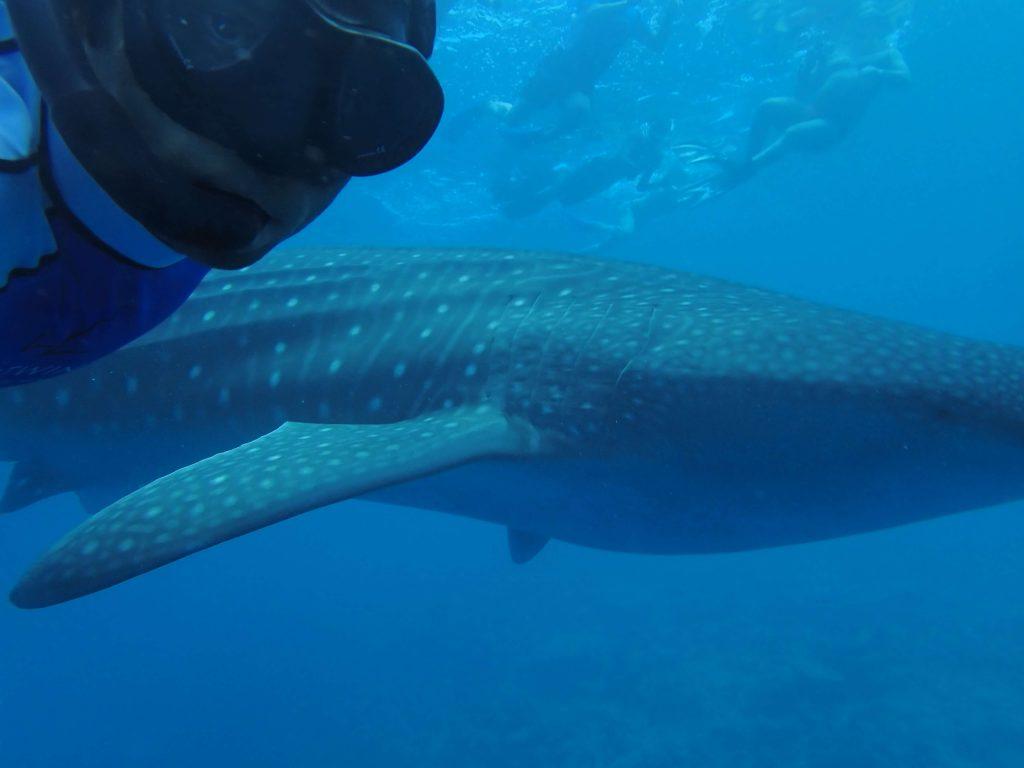 近くで見るジンベイザメは大迫力です